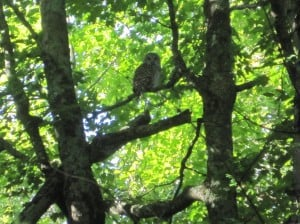 Barred Owl - Sept. 13, 2014 (Maris Lubbock)