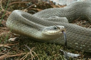 Eastern Hog-nosed Snake  (Joe Crowley)
