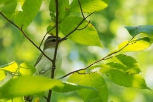 Curious Red-eyed Vireo responding to pishing (Drew Monkman)