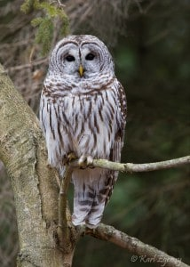 Barred Owl - Karl Egressy