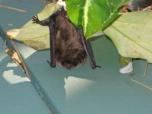 Little Brown Bat - Derry Fairweather