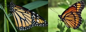Monarch (left) and Viceroy Comparison - Can you see the difference on the lower (hind) wing? Wikipedia