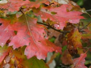 Oak leaves - Evolution has made them deeply lobed and leathery. (Drew Monkman)