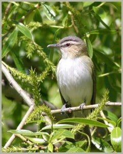 Red-eyed Vireo - Karl Egressy