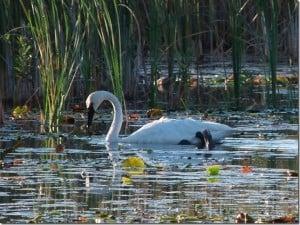 Trumpeter Swan  - Barb Evett