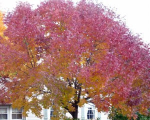Watch day-to-day colour change in the same tree like this White Ash  (Drew Monkman)