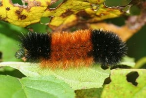 Woolly Bear - Wikimedia