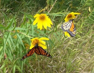 two Monarchs on Helianthus giganteus - Tim Dyson