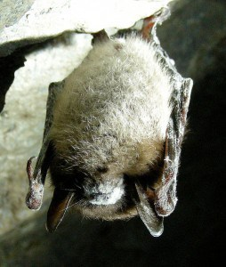 Little Brown Bat with White Nose Syndrome - Wikimedia