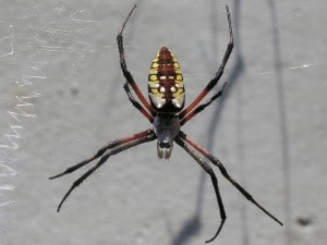 Black and Yellow Garden Spider (Argiope aurantia) Wikimedia