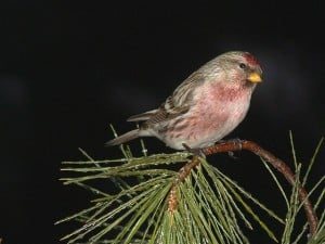 Common Redpoll - male - Tim Dyson