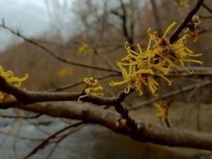 American Witch Hazel - close-up of flowers - Wikimedia