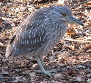 Juvenile Black-crowned Night-Heron - Wikimedia