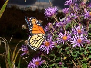 A Monarch butterfly drinks nectar from a New England Aster - Tim Dyson