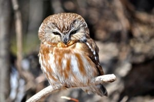 Northern Saw-Whet Owl - Kelly Simmonds - March 26, 2014