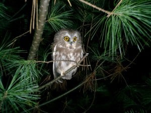 Northern Saw-whet Owl 71  - Tim Dyson
