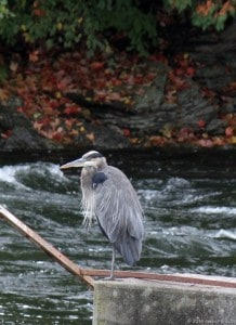 Great Blue Heron perched on one leg at Lakefield power station (Gwen Forsyth - Oct. 4, 2014)