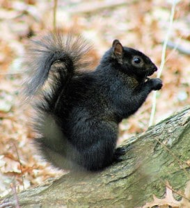 Black colour morph of Gray Squirrel -Wikimedia