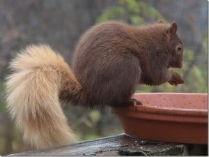 Brown colour morph of Gray Squirrel - Barb Evett