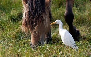Cattle Egret - Wikimedia