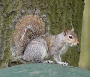 Grey colour morph 2 of Gray Squirrel - Wikimedia