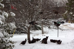 Wild Turkeys in our Patricia Crescent yard - Lowell Lunden