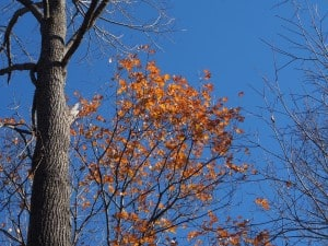 Oaks are among the last trees to lose their leaves in fall - Drew Monkman
