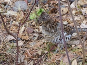 """Pretty Boy,"" the Ruffed Grouse - Peter Gulliver"