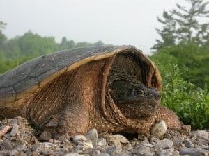 Snapping Turtle - Rick Stankiewicz