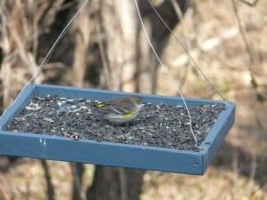 Yellow-rumped Warbler - Nov. 28, 2014 Franmor Dr. Ptbo - Sue Prentice