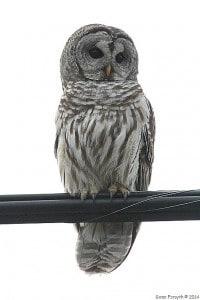 Barred Owl - Gwen Forsyth