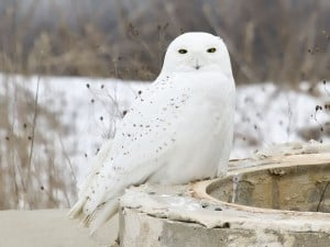 Adult male Snowy Owl - Wikimedia