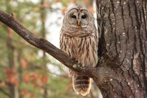 Barred Owl on Northey's Bay Road  - Jeff Keller 12 01 14