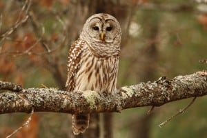 Barred Owl - Jeff Keller 12 01 14
