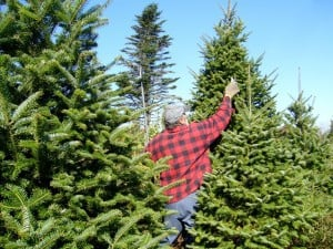 Balsam Fir Christmas tree pruning - Paul Elliott