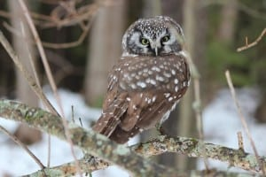 Boreal Owl - Warsaw - Dec. 14, 2014 - Jan Myland