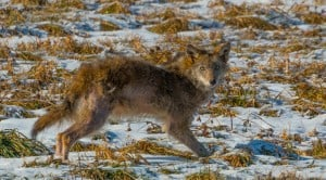 Eastern Coyote - Tim Corner