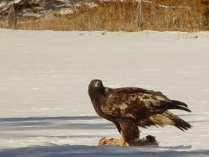 Golden Eagle (3rd winter bird) Tim Dyson