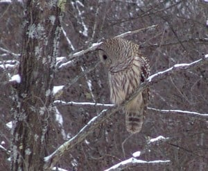 Northern Barred Owl - Quarry Bay - Tim Dyson