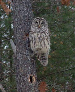 Northern Barred Owl - Tim Dyson - NBR 051214 -2