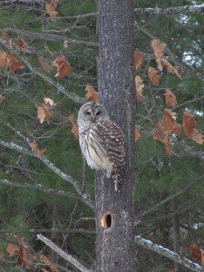 Northern Barred Owl - Tim Dyson - NBR - 051214