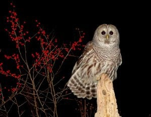 Barred Owl with Winterberry in background - Tim Dyson