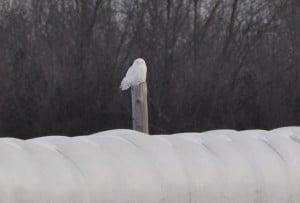 Snowy Owl - Dec. 5, 2014 - Nima Taghaboni