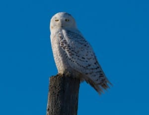Snowy Owl - Lindsay - Dec. 20, 2014 - Tim Corner