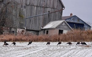 Wild Turkeys - Lisa Bakowsky
