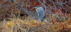 Winter Great Blue Heron - Otonabee Inn - Dec. 28, 2014 - Tim Corner