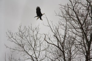 Bald Eagle - Selwyn Township - Dec. 2014 - Jeff Keller