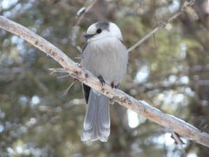 Gray Jay in Algonquin Park - Jan. 2012  - Drew Monkman
