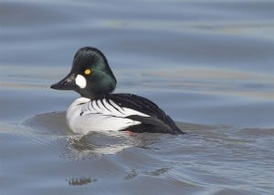 Common Goldeneye male - Karl Egressy