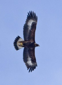 Juvenile Golden Eagle - USFWS